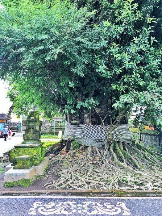banyan agaci