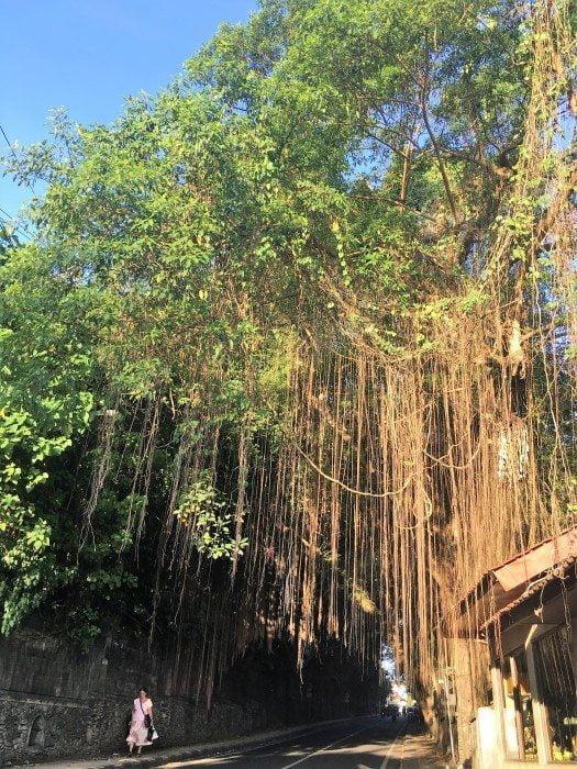 banyan agaci ubud