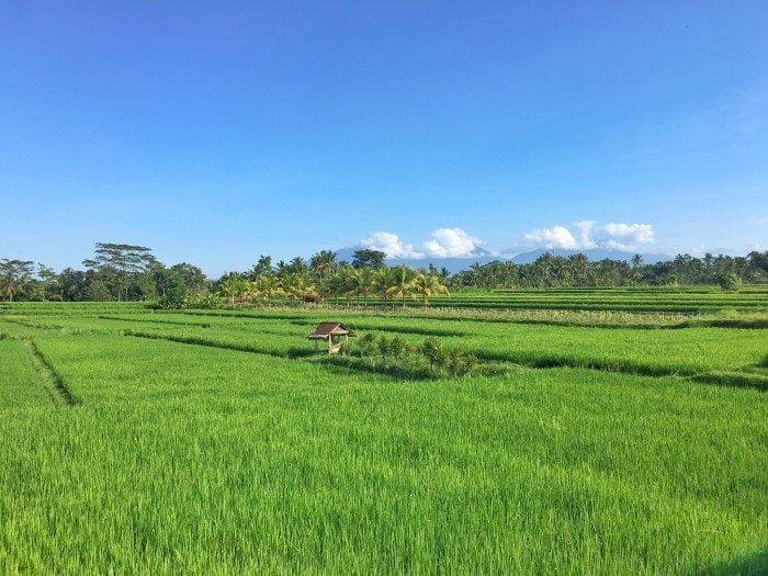 pirinc tarlaları